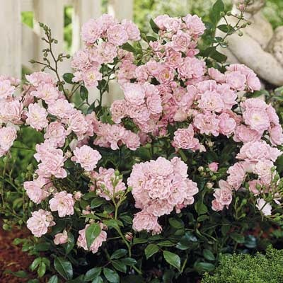 "Rose, Fairy Pink Cushion  Sun or Shade, 36"" in Height, Perfect for Hedges, 1 for $4.99."