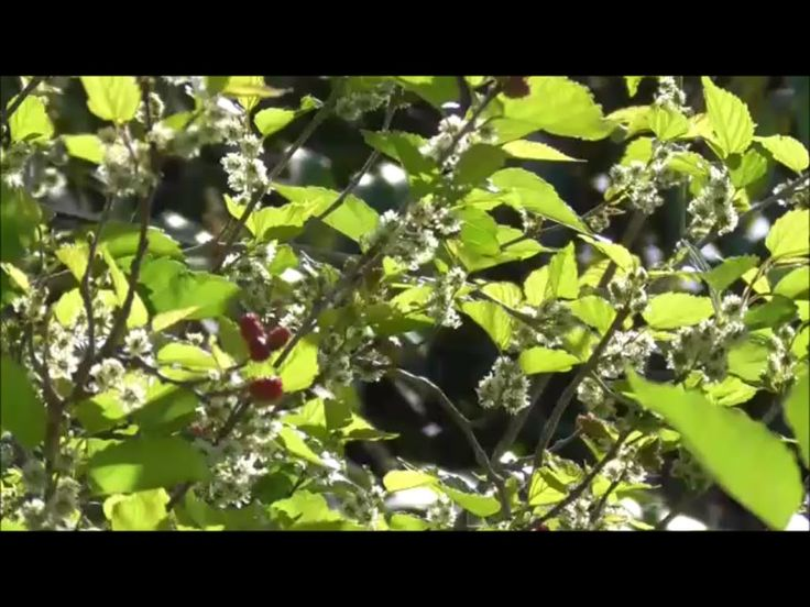 133 best images about mulberry grow eat on pinterest health mulberry tree and blackberries - Spring trimming orchard trees healthy ...