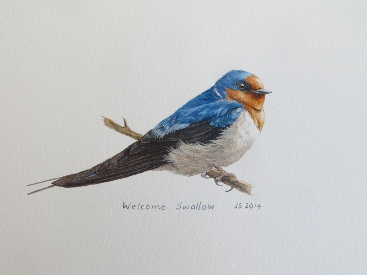 Welcome Swallow - watercolour Jane Sinclair