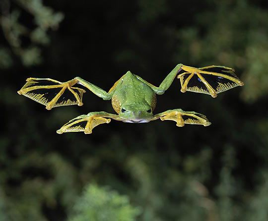 Wallace's Flying Frog. It's eyes and eardrums are large, it's limbs are very long, and it's fingers and toes are webbed right to the tips. Together with a fringe of skin stretching between the limbs, this flying frog can parachute to the forest floor from high in the trees where it is normally found.The Flying Frog