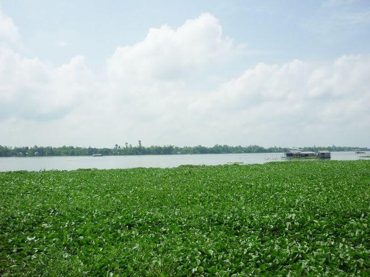Lục Bình Trên Sông Long Xuyên An Giang