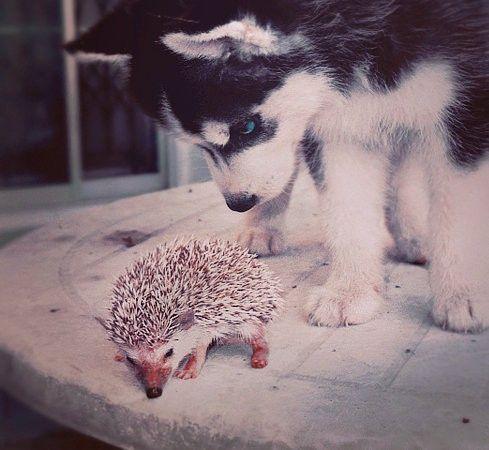 hedgehog & pup  #cute #animal