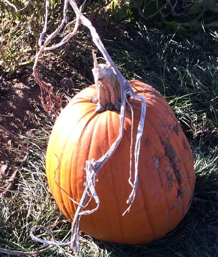 Pumpkin 22 Oct 2016. Beluncle Farm, Hoo, Rochester, Kent