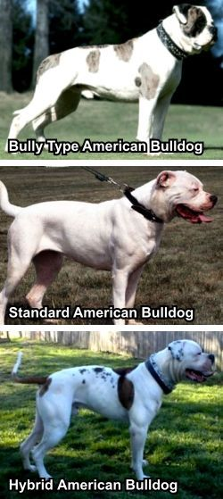 BLASCO FAMILY BULLDOGS :: No, American Bulldogs Are Not Pitbulls :: The differences between American Bulldogs and Pitbulls