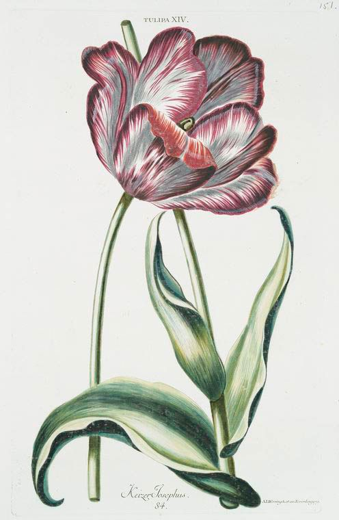 82 besten botanica georg dionysius ehret bilder auf. Black Bedroom Furniture Sets. Home Design Ideas