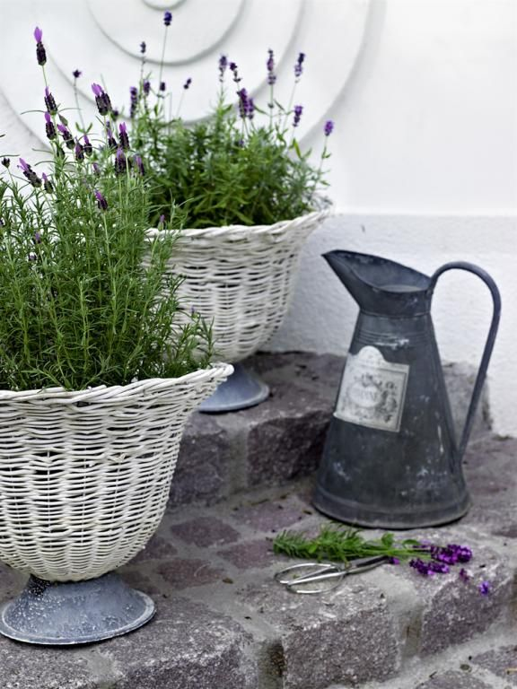 131 best images about all lavender in pots containers on pinterest. Black Bedroom Furniture Sets. Home Design Ideas