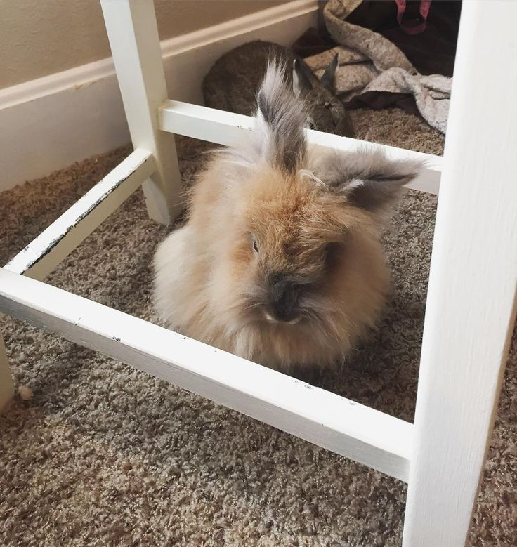 Sometimes when I get really sleepy I get inside the safe zone of moms sewing stool.  #rabbit #rabbits #rabbitsofig #rescue #rabbitstagram #bunny #bunnies #bunnylove #bunniesworldwide #bunniesofinstagram #animal #animallovers #adoptdontshop #catsofinstagram #furbaby #lapin #lionhead #conejo #cagefree #coniglio #krolik #kanin #kaninchen #vegan #veganlife #vegansofig #crueltyfree #animalwelfare #sunday by thehouserabbits