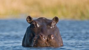 Does a hippo sweat?