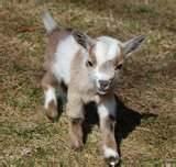 pygmy fainting goat ... i want!!