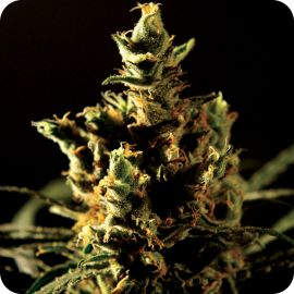 The Bulldog Haze - strain - Bulldog Seeds | Cannapedia
