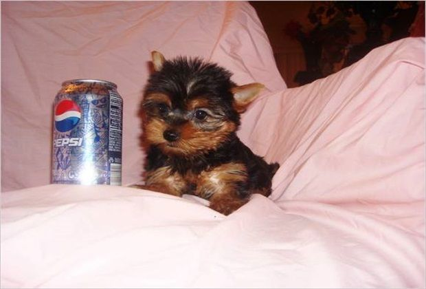 Little Teacup Yorkie Next To A Coke Can Cute Puppies
