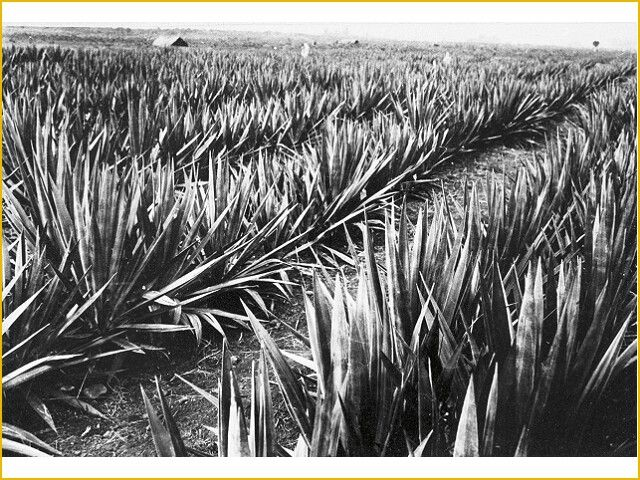 Sisal Plantation at North Sumatra, Indonesia (1950-1960) courtesy of Tropenmuseum NL