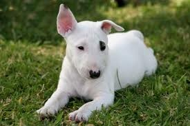 bull terriers are so cute. I can has one?