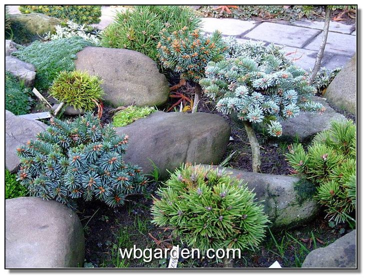 82 best Garden Conifer images on Pinterest Shrubs Garden plants