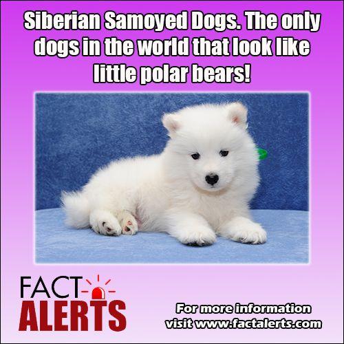 Ποιοι σκύλοι μοιάζουν με αρκούδες...