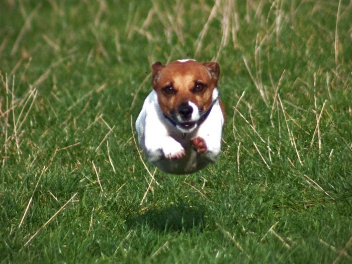 The 43 most active dog breeds – #17: Jack Russell Terrier http://www.pindoggy.com/pin/9759/