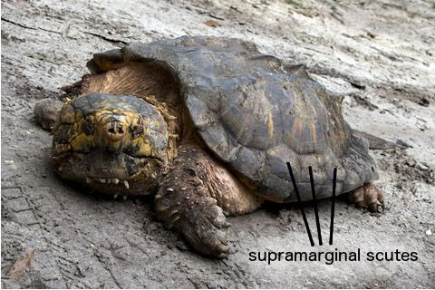 Snapping Turtle Facts | Snapping Turtle Habitat & Diet