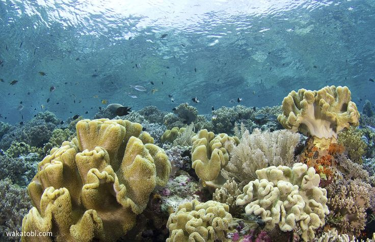 Wakatobi is located in an area that encompasses the highest coral reef biodiversity in the world. (Photograph: Walt Stearns)