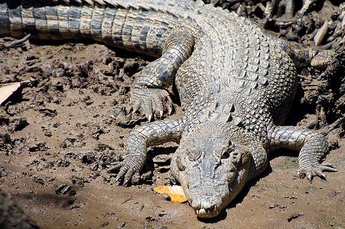 Saltwater Crocodile, Daintree River