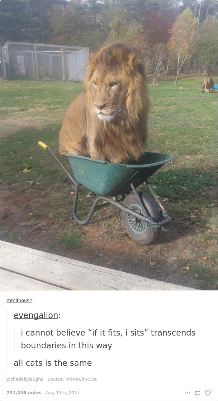 Lion loves a small space