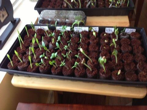 Seedlings for Kid Pool raised veggie garden