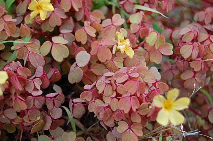 Oxalis vulcanicola 'Sunset Velvet.' Photo: Erle Nickel