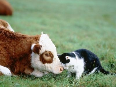 Cow Daisy Barnyard Porn - cat and cow