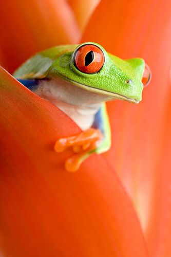 Red-eyed tree frog peeking out from a guzmania ~ By Sascha Burkard