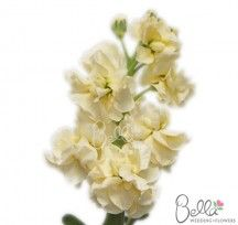 Cream Stock flowers (good for filling in a bouquet with soft colour - it's not a focal flower :)