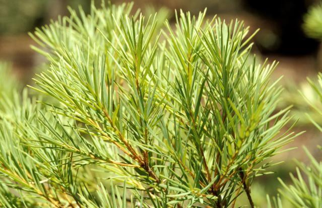 4 Health Benefits of Tea Tree Oil