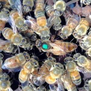 """""""Wildflower Meadows provides queen bees for sale that are gentle, easy to work with and build up abundantly for pollination and honey making. If you are just beginning and discovering the thrill of backyard or urban beekeeping, then Wildflower Meadows' queen bees are perfect for you!"""""""