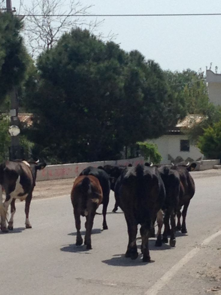 Der Weg ist das Ziel oder wie war das? Diese freilaufende Herde Kühe mit Kälbern ist gleich am Camel Beach in Bodrum Ortakent. Da wachsen im Moment besonders leckere Wildblumen und Kräuter.