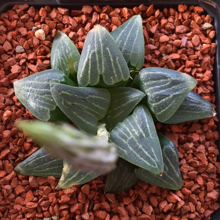 Haworthia pygmaea GM325