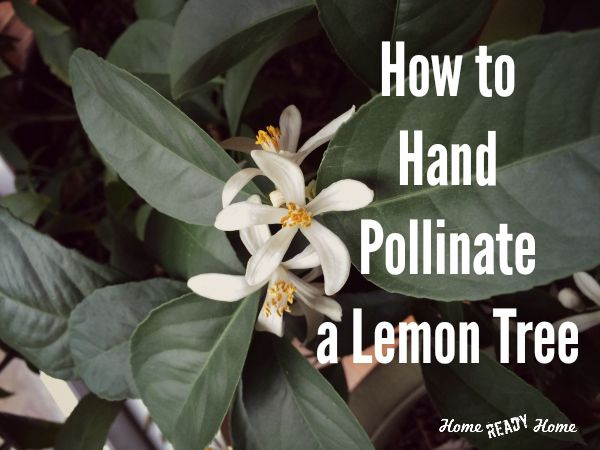 How to Hand Pollinate a Lemon Tree: Indoor lemon trees need to be pollinated by hand to produce fruit. Here's how to do it.