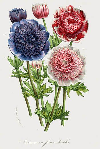 anemones antique prints flower art print botanical prints vintage prints victorian art french prints old prints art print
