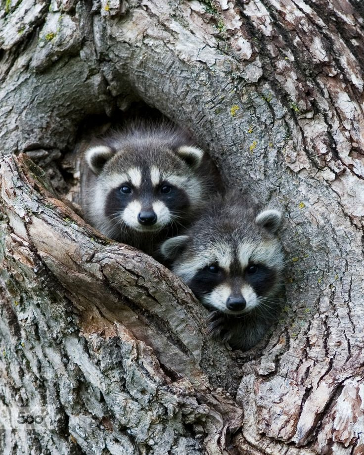 Baby raccoons peeking out of tree by Steve Fines - Photo ...
