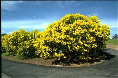 Image result for acacia cultriformis