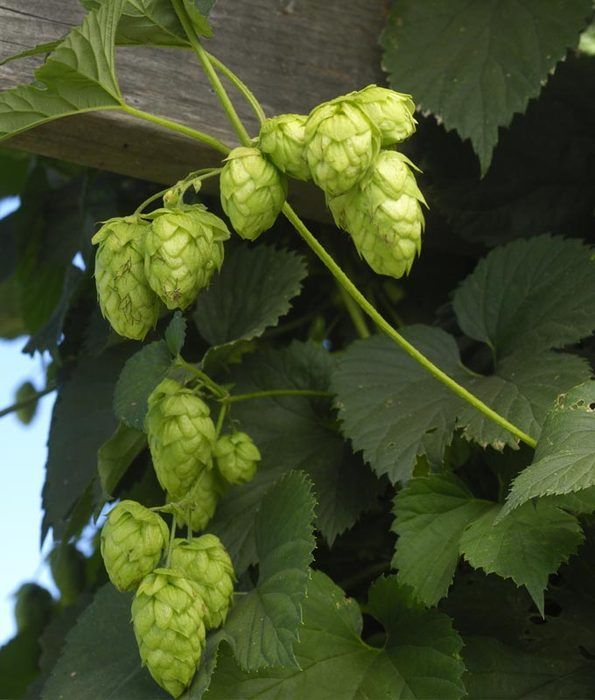 Learn how to harvest, dry and store your homegrown hops. Now, invite some friends over to help you pick the hops while enjoying some homebrew!