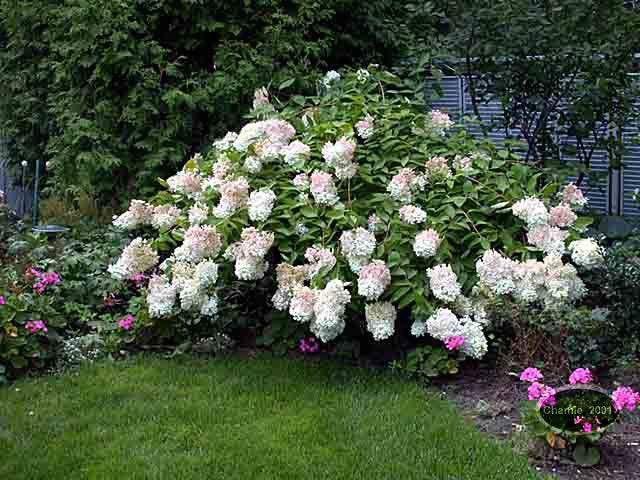 Hydrangea Paniculata Grandiflora | Hydrangée Paniculée Pee gee