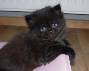 Nog 1 prachtig Brits ( Britse ) Langhaar kitten! - Katten en Kittens   Raskatten   Langhaar