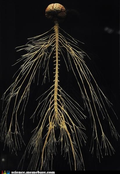 Human brain and nervous system. It's like the most beautiful tree...