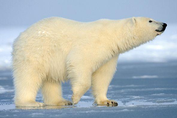 J004 Jpg 591 394 Polar Bear Polar