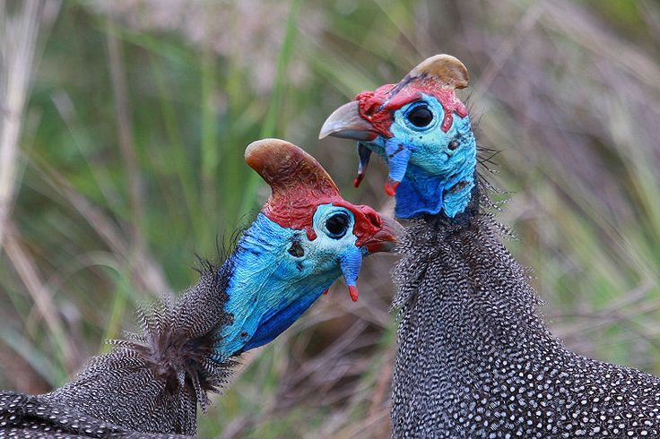266 Best Guineas To Love Images On Pinterest  Guinea Fowl -1568