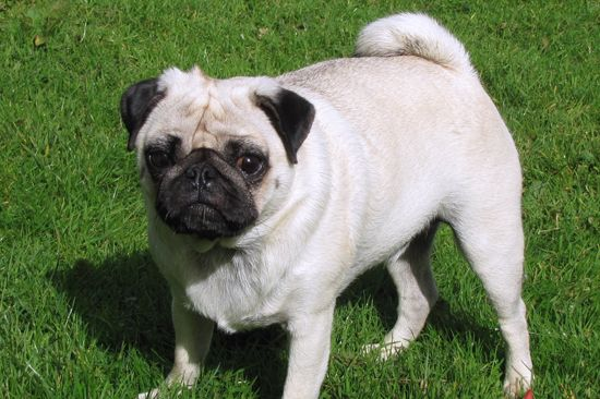 Pugs are a small dog and make a great family companion! They are smart, stable personal, gentle, festive, and love to make you happy! Most of them enjoy playing with children. They make a great pet for smaller homes!