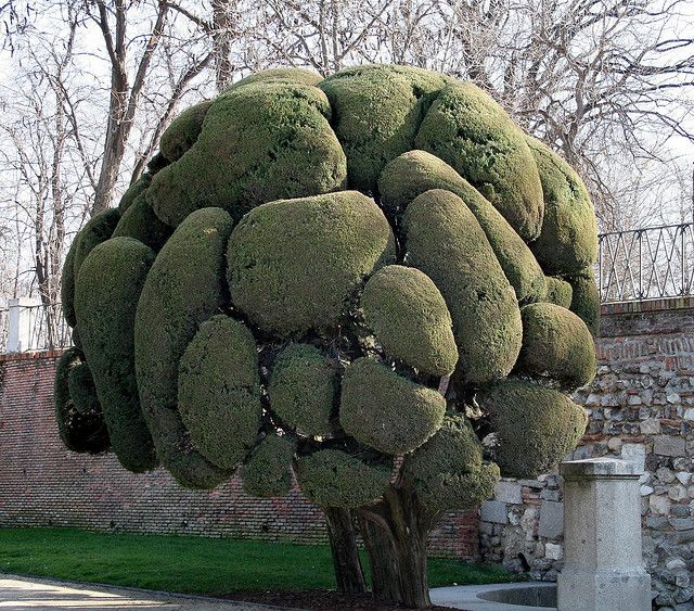 In El Parque de Retiro, a park in Madrid, Spain, lies this unique tree.  Mediterranean Cypress Tree