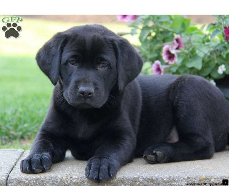 Find Out About Beagle Puppies For Sale Just Click On The Link For More Information Enjoy The Websi Black Labrador Puppy Lab Puppies Black Labrador Retriever