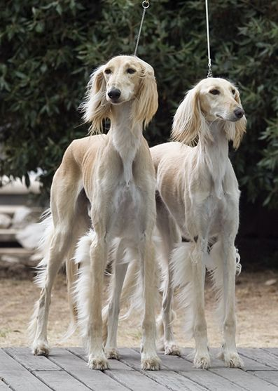 Salukis - such interesting dogs. I've never seen one before. Amazing looking.