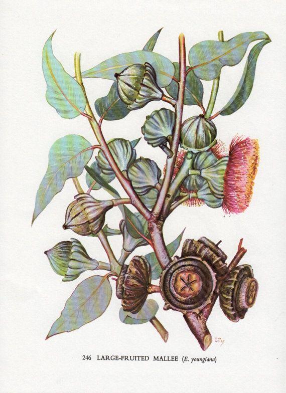 Botanical Print for bathroom?  Australian flowering gum tree vintage by VintageAndNostalgia