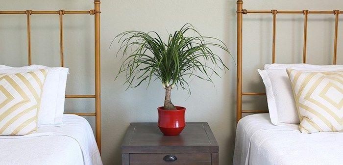 kleiner Elefantenfuß zwischen zwei Betten in rotem Blumentopf auf Nachttisch Zimmerpflanzen schattig