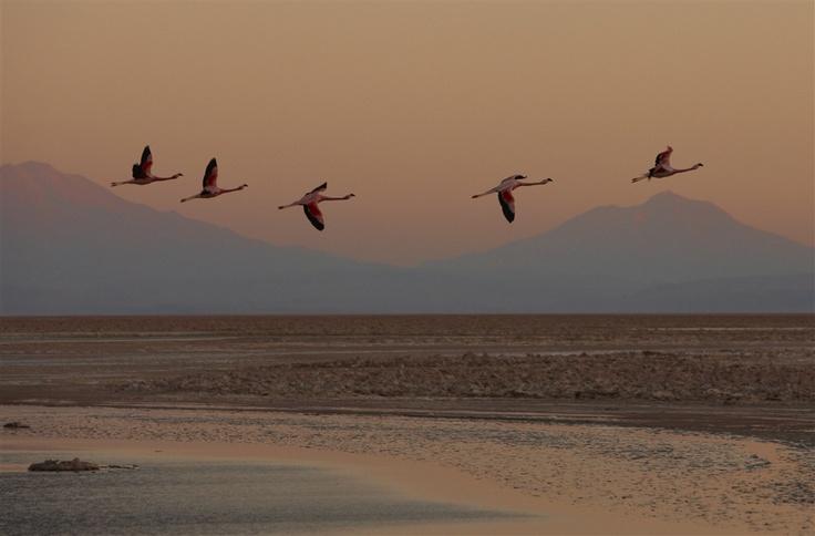 flamingos in the desert. Atacama Desert, Chile